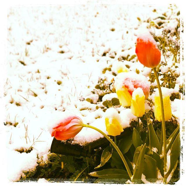 #Tulpen im #Schnee ??????