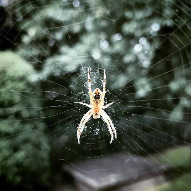 #Spinne #spider #spiderweb