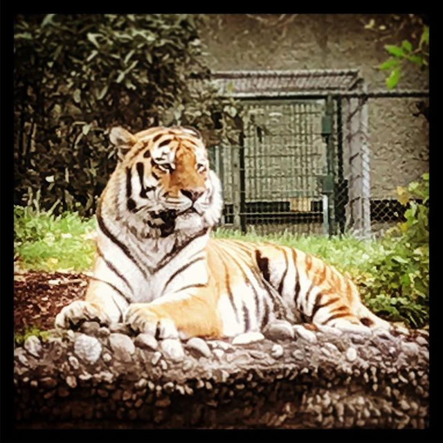 #Tiger #Zoo #Hellabrunn